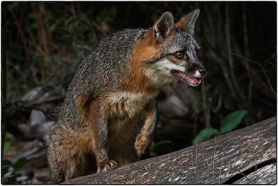 Grey Fox - Minnesota Wildlife Connections