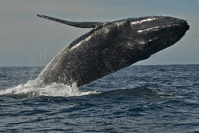 Humpback Whale Breaches off the Coast of Los Cabos, Mexico