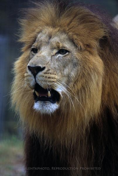 Lion - Big Cat Rescue - BigCat Rescue, Tampa FLA.