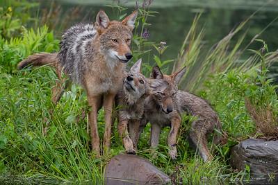 Coyotes - Minnesota Wildlife Connections