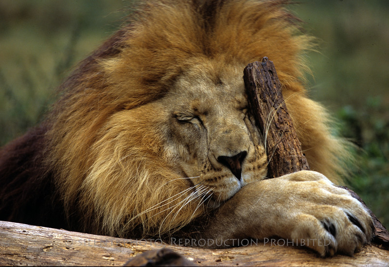 Male Lion - Big Cat Rescue - Tampa, FLA.