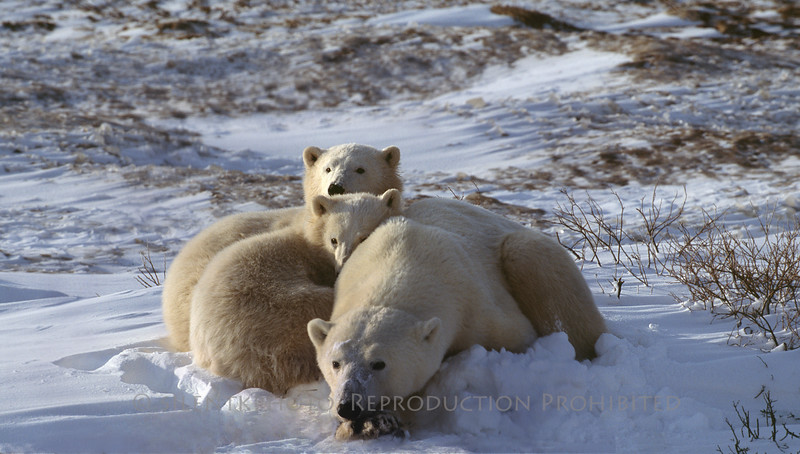 Mom and cubs - Churchill on Hudson Bay, Canada
