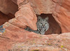 Bobcat peeking out