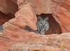 Bobcat peeking out