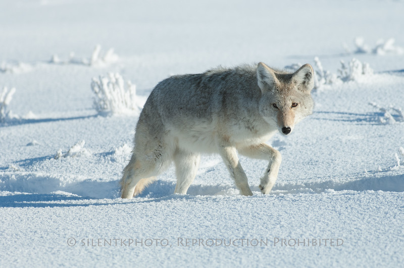 Wiley Coyote - On the Prowl, Yellowstone