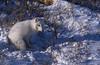 Artic Fox - Churchill, CN