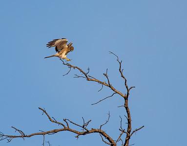 Nothern Harrier