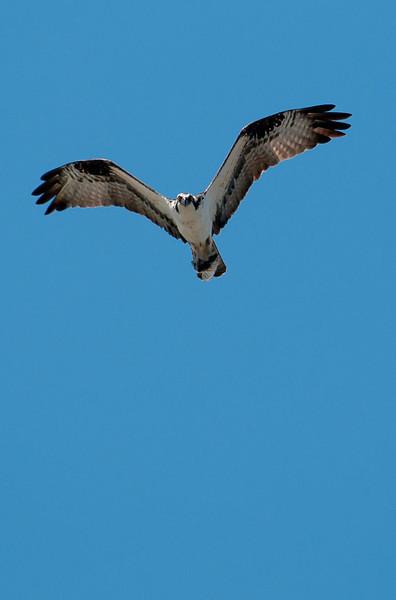 Osprey over crescent beach #orcasisland #sanjuanislands #vacation #destinationwedding #beauty