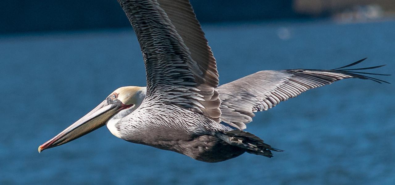 California Gray Pelican
