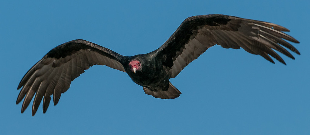 A turkey Vulture who was eyeing me out on the Headlands, guess I was still moving to much for him