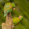 Green Headed Parrots, La Lagua de Lagarta, Costa Rica