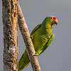 Green headed Parrot - La Laguna de Lagarta