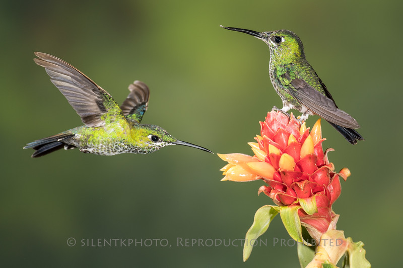 Green Crowned Brilliants
