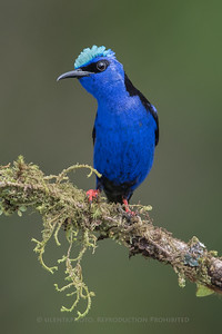 Red legged Honeycreeper - La Laguna de Lagarta, CR