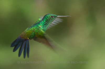 Steely Vented Hummingbird