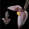 Long Tongued Bat on Banana Flower