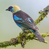 Golden Hooded Tanager - La Laguna de Lagarta
