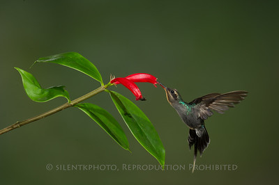 Green Hermit Hummingbird