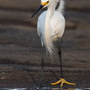 While Egret