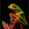 Red Eyed Tree Frog, La Laguna de Lagarta