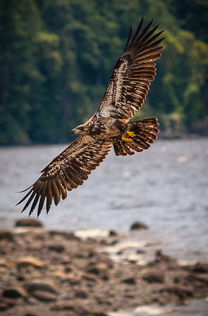 Juvenile Bald Eagle at Crescent Beach