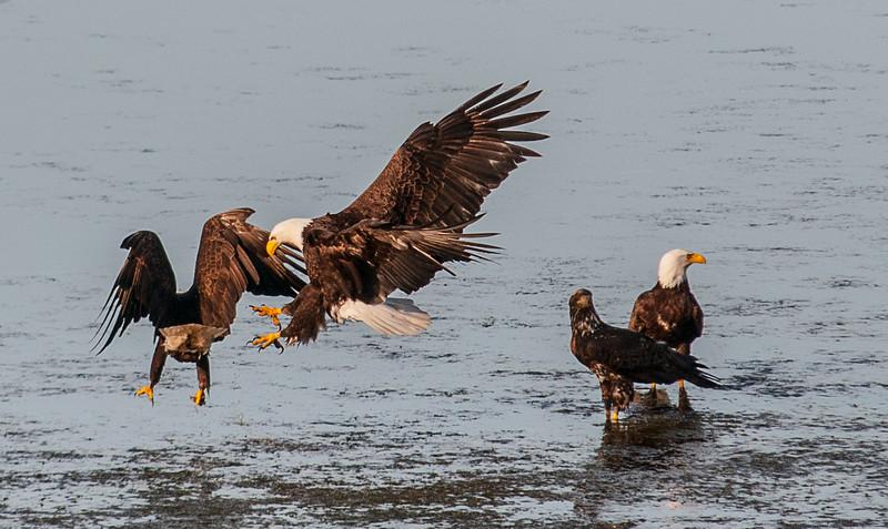 #orcasisland #baldeagle #baldeagles #nationalbird #freedom #natural #majestic #crescentbeach