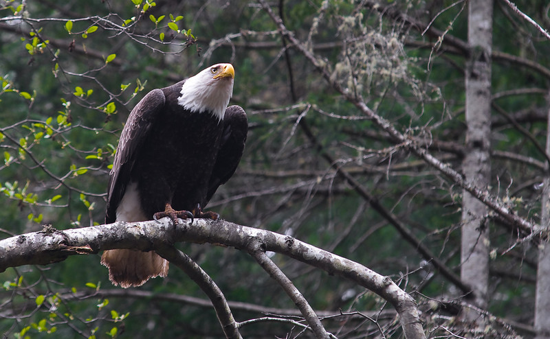 _WBP6897 #orcasisland #baldeagle #baldeagles #nationalbird #freedom #natural #majestic #crescentbeach
