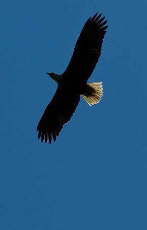 Bald Eagle: Over Victorian Valley, Orcas Island, Wa. July 2009 #orcasisland #baldeagle #baldeagles #nationalbird #freedom #natural #majestic #crescentbeach