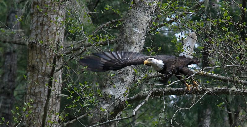 Bald Eagle, Orcas Island Wa. #orcasisland #baldeagle #baldeagles #nationalbird #freedom #natural #majestic #crescentbeach