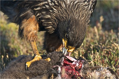 Caracara (Johnny Rook) on penguin kill- Saunders Island, Falklands