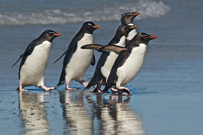 Rockhopper Penguins coming ashore- Saunders Island, Falklands