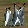 King Penguins - Saunders Island, Falklands