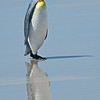 King Penguin - Voluntaeer Point, Falklands