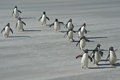March of the Rockhoppers - Saunders Island, Falklands