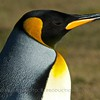 King Penguin - Saunders Island, Falklands