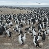 King Cormorant colony- Bleaker Island, Falklands