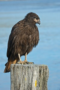 Caracara (Johnny Rook) - Carcass Island, Falklands