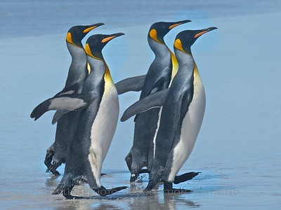 King Penguins - Volunteer Point, Falklands