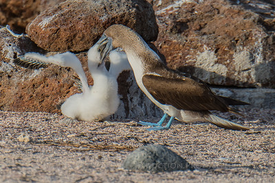 Blue Footed Boobies - Feeding Chick, North Seymour Island, Galapagos