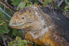 Land Iguana , North Seymour Island
