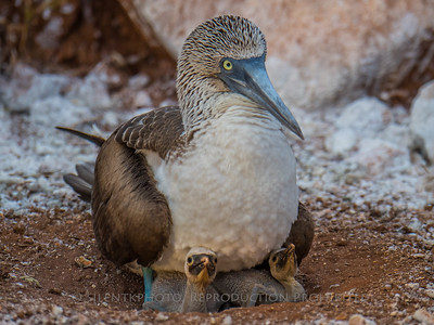 Blue Footed Boobie on Nest