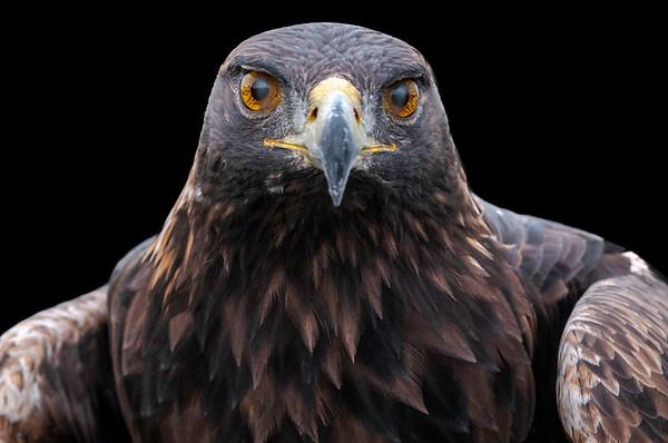 Golden Eagle blink