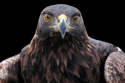 Golden Eagle blink