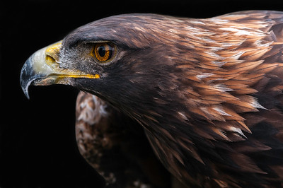 Golden Eagle looking sensational