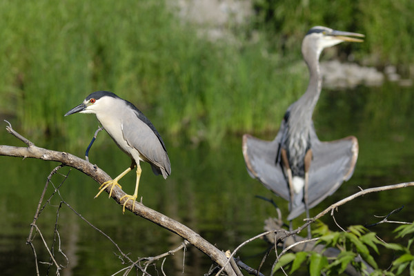 Black-crowned Night Heron and Great Blue Heron.