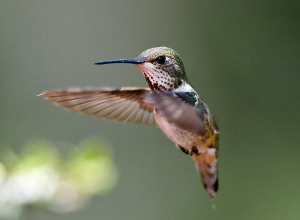 Female Rufous Hummingbird Rufous Hummingbird