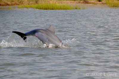 Dolphin taking a dive! Kiawah Island, SC