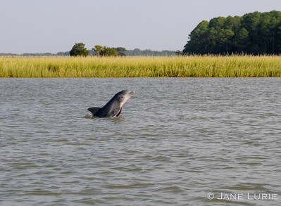 "A dolphin behavior known as ""peeking"". I see you! Kiawah Island, SC."