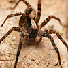 Wolf Spider...<br /> <br /> (Hogna Aspersa)<br /> <br /> Wolf Spiders hunt at night, spending their days burrowing under rocks and logs.  These spiders can grow quite large in size (15mm-25mm), which is why they are feared by many people. They are known to bite humans, especially if handled, but their venom is not very harmful to humans. I bit of pain and swelling is the most that can happen if you are bitten by one of these guys. While males die after mating in the fall, females overwinter and then lay their eggs in the spring. The spiderlings will then climb on the backs of the females and spend the summer growing in size. They will then overwinter with the female until the following spring, at which point they will be fully mature.