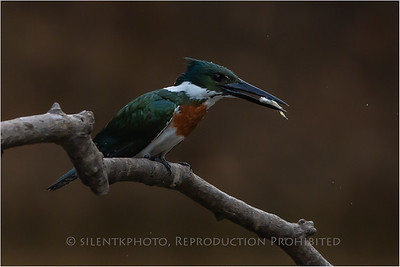 Green Kingfisher, Pantanal - Brazil